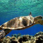 caretta sea turtles dalyan